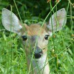 deer-981211_640